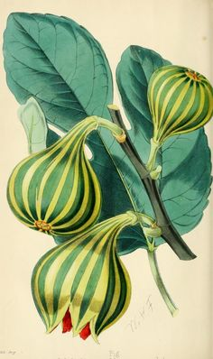 1869 - The florist and pomologist. - Biodiversity Heritage Library - Fig Col Di Signora Blanca Panachee