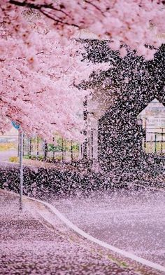 zekkei-beautiful-scenery: Cherry blossoms in Japan Sakura 桜咲く日本 世界の絶景 Zekkei Beautiful Breathtaking Scenery Beautiful World, Beautiful Places, Cherry Blossom Japan, Cherry Blossoms, Japan Sakura, Sakura Sakura, Japan Japan, Kyoto Japan, Blossom Trees