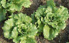Grow Lettuce All Year Long: Organic Gardening