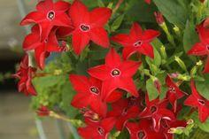 Декоративный табак душистый, или крылатый.  то нежное растение прибыло к нам из Центральной Америки и быстро завоевало популярность среди цветоводов благодаря неповторимому аромату своих прекрасных крупных цветов. Фото: © Meighan