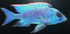 haplochromis lithobates.jpg