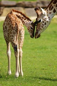This Is Wiltshire: Giraffe mum Gertie with her new calf Perseus at Longleat Safari Park. Picture by Ian Turner