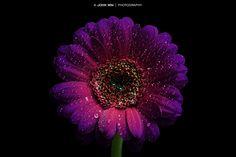 Photo Waterdrops on Purple Gerbera by John Win on 500px