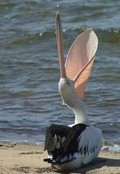 Pelican a little bit of yoga does a body good! I am one with the beach./ an awesome picture-have never seen a pelican with its mouth open before. Pretty Birds, Love Birds, Beautiful Birds, Animals Beautiful, Exotic Birds, Colorful Birds, Tropical Birds, Animals And Pets, Cute Animals