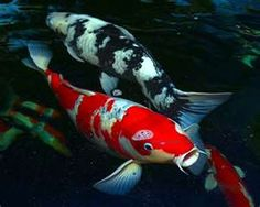 koi fish  is what I seen as I walked into sushi restaurant in the floor beneath me.