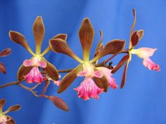 Encyclia 'Orchid Jungle' - Click on this image and the next two images for the macro-view.