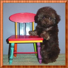 Micro+Tiny+Teacup+Poodles | ... Poodle Breeders | Brown Sable Tiny Teacup/Micro Teacup Poodle Male