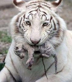 ❤️ A rare white Tiger and new born cub.