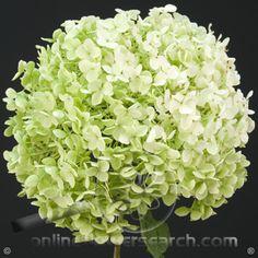 Hydrangea Annabelle - Cut Flower Wholesale, Inc. -- leading wholesale florist in Atlanta, GA U.S.A.