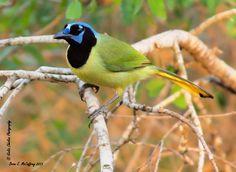 A colorful bird    Green Jay  Bentsen Rio-Grande -- Mission, Texas
