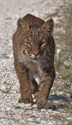 Bobcat walking down Wildlife drive, Merritt Island Merritt Island, Panther, Wildlife, Walking, Nature, Animals, Naturaleza, Animales, Animaux