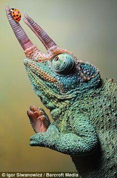 Jackson's chameleon.  #science @IFLS