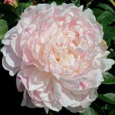 US peony grower and hybridizer - peonies are what we do. Our assortment includes new cultivars, cut flower sorts, bush peonies, historic varieties and a whole lot more. Rock Garden Plants, Cottage Garden Plants, Love Garden, Cottage Gardens, Peonies And Hydrangeas, Peonies Garden, Pink Peonies, Exotic Flowers, Beautiful Flowers