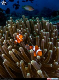 Clown Fish in Sabang, Puerto Galera, Philippines
