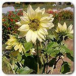 Organic Italian White Sunflower