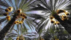Date palm, Arab region symbol of prosperity, listed by UNESCO Desert Area, Red Palm, Arab World, Good Dates, North Africa, Palm Trees, Deserts, Nature, Middle East