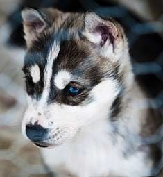 sled dogs -