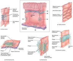 epithelial cell junctions - Google Search
