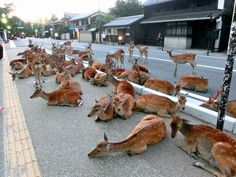 deer try to cool off on the streets of Nara, Japan