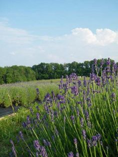 Peaceful Acres Lavender Farm Martinsvillie, Ohio. Every June they host a Summer Solstice Lavender Festival.