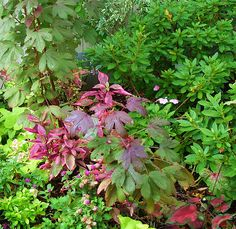Colorful foliage in shade garden - Pink altetrnanthera, hibiscus acetosella, evergreen azaleas by pawightm (Patricia), via Flickr