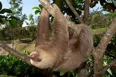 Two-toed Sloth - Saferbrowser Yahoo Image Search Results