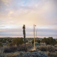 The odd couple #desert #yucca #plants #clouds #sunset