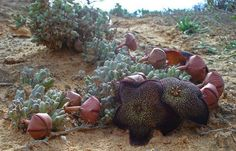Tridentea pachyrrhiza in habitat - Western Richtersveld Judd K Welwitch