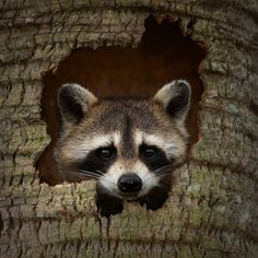 Photograph Raccoon Hideout by Steve Perry on 500px