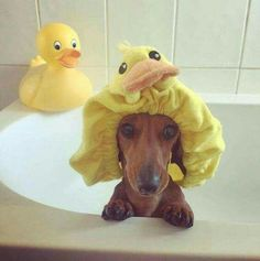 Too funny, to cute. He don't want his ears wet.