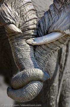 Close up of African elephants entwining trunks, Savuti, Botswana. Steve Bloom