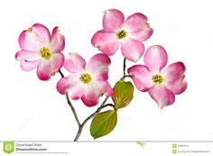 Pink White Dogwood Flowers Stock Photos - Image: 24508523