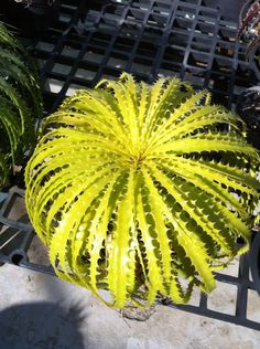 Originally native to Brazil but this is a Cultivar. Weird Plants, Unusual Plants, Rare Plants, Exotic Plants, Succulent Gardening, Cacti And Succulents, Planting Succulents, Planting Flowers, Bog Plants