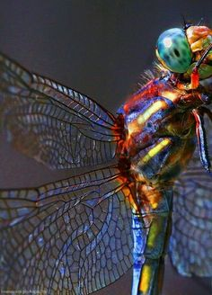 I'm getting prepared to do some pen and ink of dragonflies. I love the detail of the wings in this photo. I'm getting prepared to do some pen and ink of dragonflies. I love the detail of the wings in this photo. Beautiful Bugs, Amazing Nature, Beautiful Dragon, Beautiful Butterflies, Beautiful Flowers, Beautiful Creatures, Animals Beautiful, Fotografia Macro, A Bug's Life