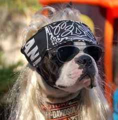 Harley Davidson Boxer Dog with a Wig and a Bandana