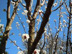News & Events in the Winery Spring Break, Apricot Blossom, Plants, Dessert Wine, Sparkling Wine, Fruit Juice, Alcoholic Beverages, Mead, Wineries