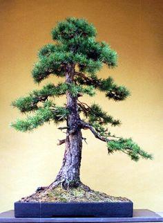 Wykonawca: Nick Lenz sosna zwyczajna ( Pinus sylvestris )