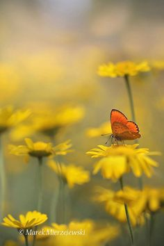 Summer meadow with Scarce copper by Marek Mierzejewski www.butterfly-photos.org on 500px