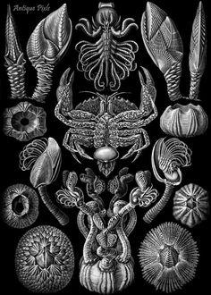Copepoda plankton Ernst Haeckel Scientific by AntiquePixls on Etsy