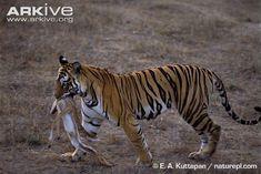 Bengal tigress with prey