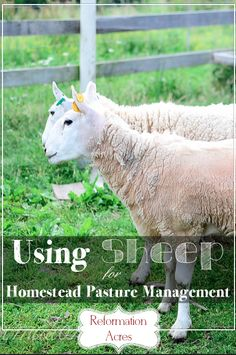 Using Sheep for Homestead Pasture Management