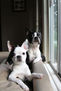 15 Things Only Boston Terrier Owners Would Understand - Dog Red Line Cute Puppies, Cute Dogs, Dogs And Puppies, Doggies, Chihuahua Dogs, Pugs, Boston Terrier Love, Red Boston Terriers, Boston Terrior