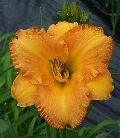 We are America's largest grower and online retailer of high quality daylilies, iris, peonies and other premium perennials. Flower Gardening, Garden Plants, Planting Flowers, Peonies, Tulips, Beauty Tips, Beauty Hacks, Daylily Garden, Color Naranja