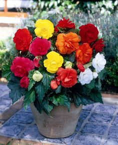 Buy begonia tubers Begonia mixed doubles - Brilliant colour for partial shade: 4 tubers: Delivery by Crocus Container Flowers, Container Plants, Container Gardening, Large Plants, Potted Plants, Front Porch Plants, Tuberous Begonia, Hanging Baskets, Trees To Plant