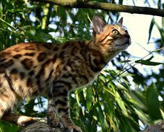 Bengal Cat High in a Tree Attempting to do Some Bird Watching.