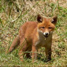 Red Fox Cub by thrumyeye - Roeselien Raimond