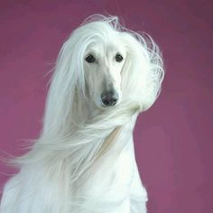 Stunning #AfghanHound #dog