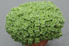 Crassula socialis | Flickr - Photo Sharing!