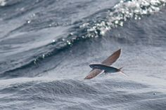 Conservation India » Flying Fish, Bay of Bengal