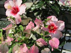 我が家のハイビスカスとブーゲンビリア #hibiscus #bougainvillea #ハイビスカス #ブーゲンビリア